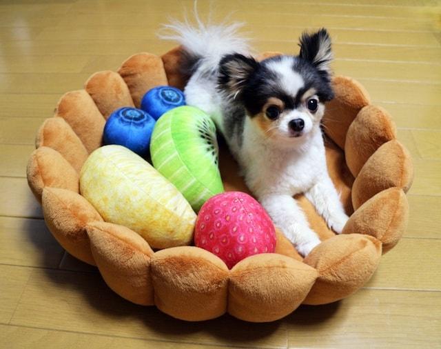 フルーツタルト型クッションでくつろぐ小型犬