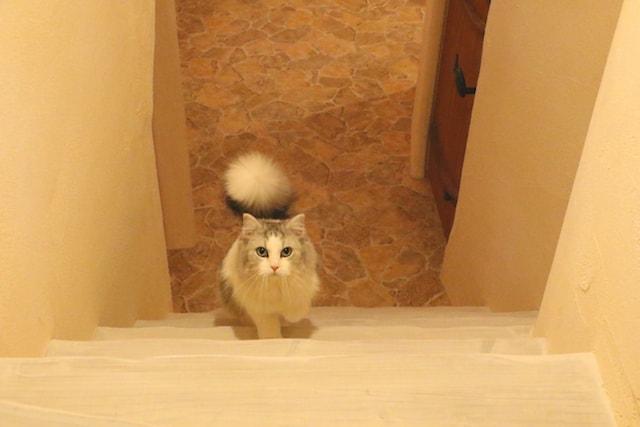 階段で2階にあがる猫 by Cat Cafe てまりのおしろ