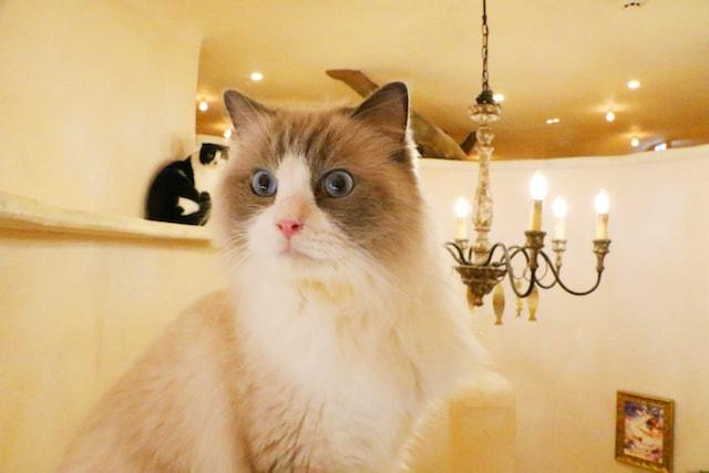「Cat Cafe てまりのおしろ」の店内風景