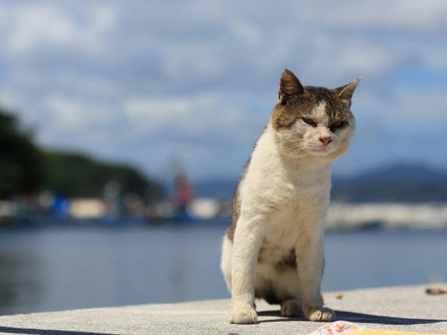 猫島・田代島の猫(AC)