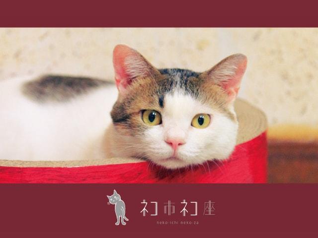 関西最大級の猫助けイベント「ネコ市ネコ座」明日12/26〜神戸で開催