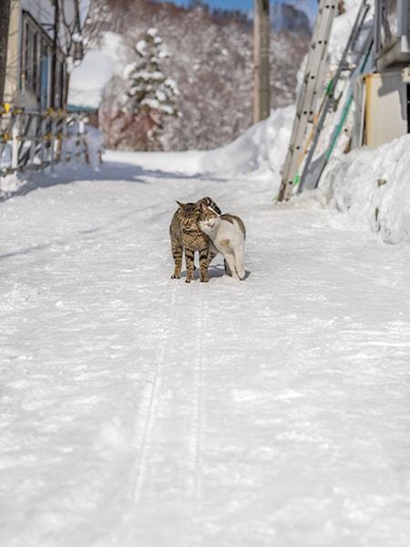 北海道の雪積もる冬、仲良く寄り添い合う猫たち
