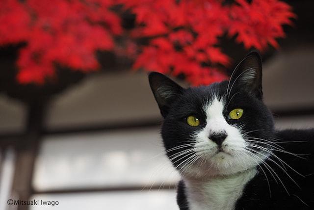 紅葉を背に振り返る猫 by 岩合光昭写真展「ねこの京都」