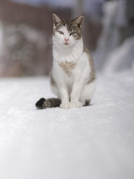 雪の上にたたずむ猫の写真 by 吉田裕吏洋