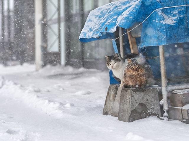 ビニーシートで雪を避ける猫の写真 by 吉田裕吏洋