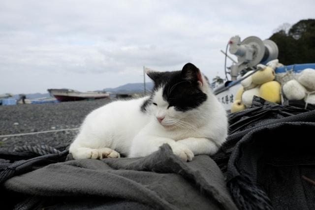 猫島・田代島の漁港近くでたたずむ猫(AC)