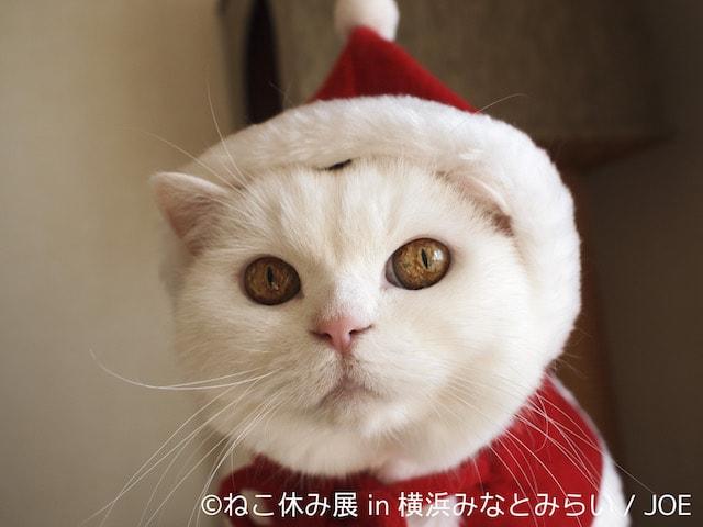 美人白猫「うらちゃん」のクリスマスコスプレ by JOE