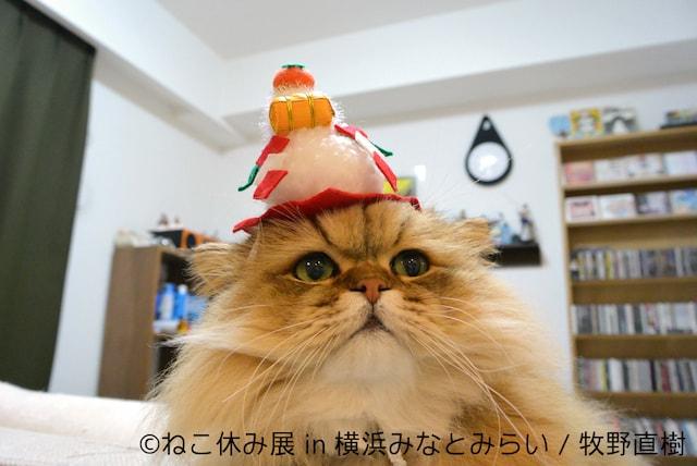 しょんぼり顔が人気のペルシャ猫「ふーちゃん」お正月バージョン