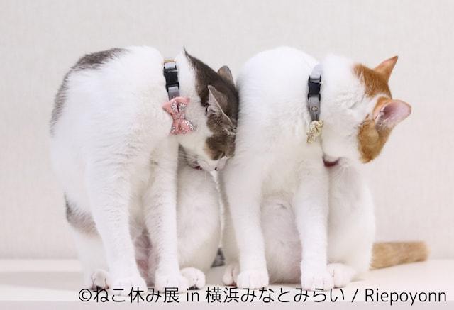 双子の猫アメカヌちゃん「riepoyonn」