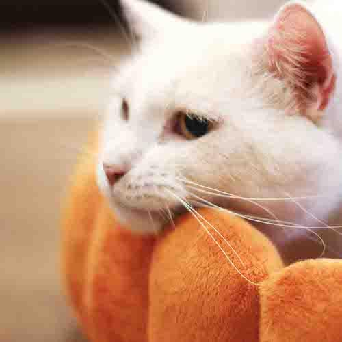 フルーツタルト型クッションの縁にアゴを乗せる猫