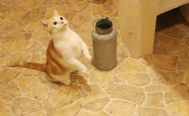 吉祥寺の猫カフェ「Cat Cafe てまりのおしろ」の猫スタッフ