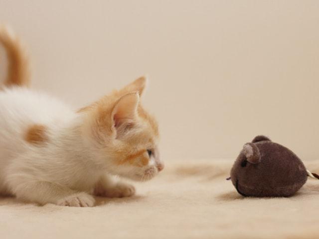 飼い猫と楽しく遊ぶイメージ写真ac