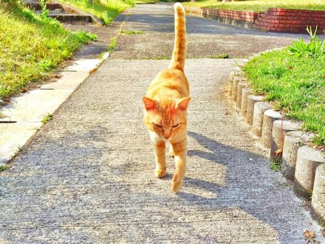 しっぽを垂直に立てる猫のイメージ写真 ac
