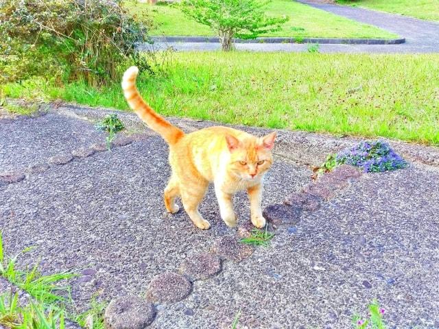 しっぽを縦に振る猫のイメージ写真 ac