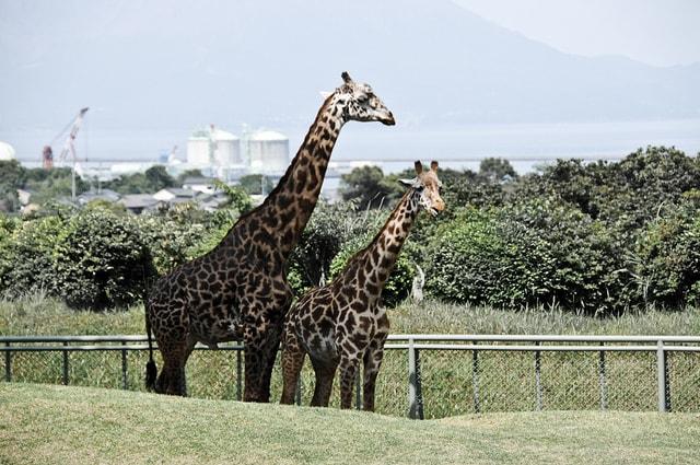 平川動物公園の園内とキリン