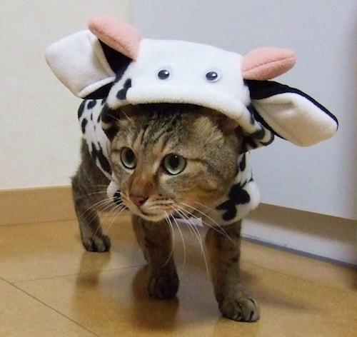 牛のきぐるみを着た猫の写真(AC)