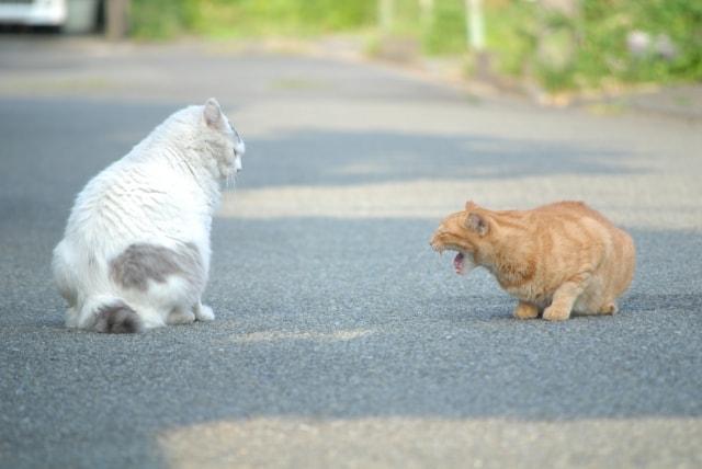 他の猫に対して威嚇する茶トラ猫