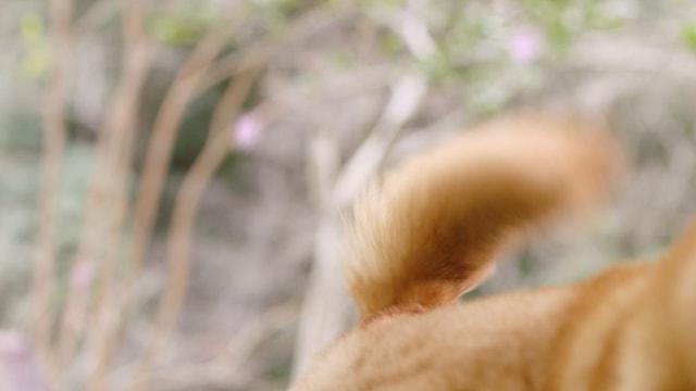 温泉の先客、柴犬のしっぽ