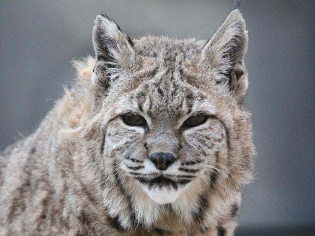 神戸の王子動物園で2/22、ネコ科動物たちを中心としたイベントが開催