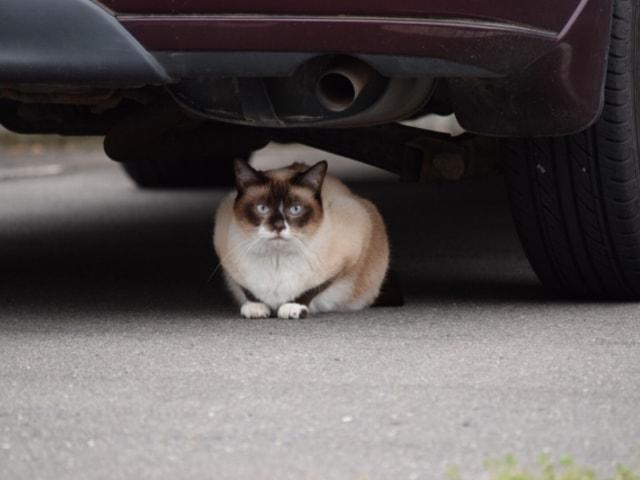 車の下にいる猫のイメージ写真