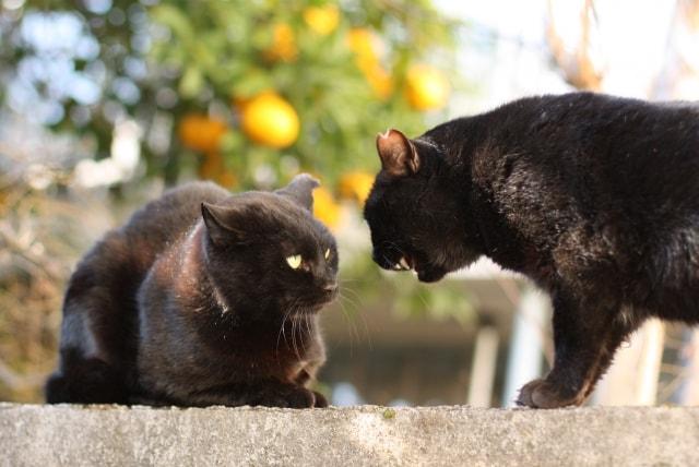 喧嘩相手に威嚇されて縮こまる猫