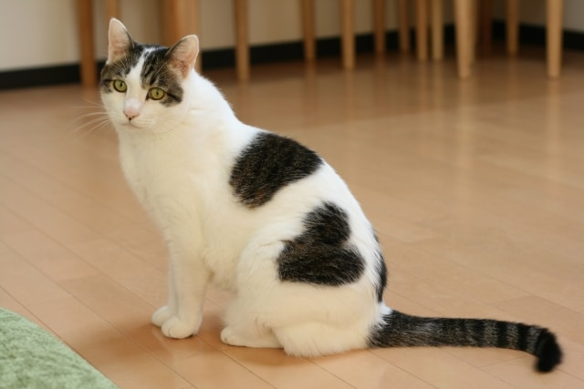 猫とフローリングのイメージ写真