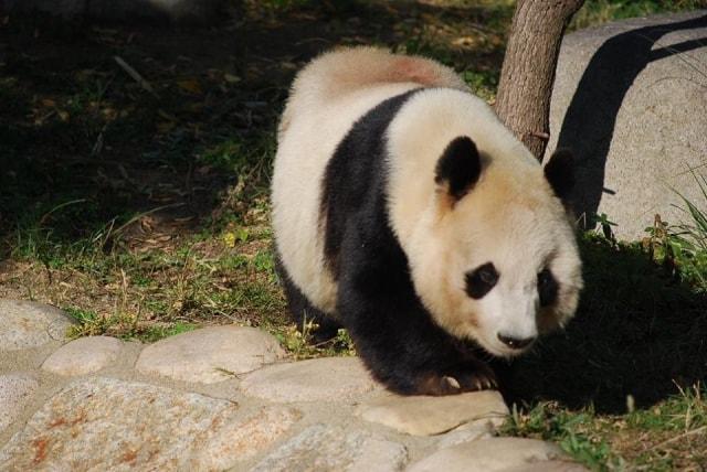 ジャイアントパンダの写真 by 王子動物園 ac