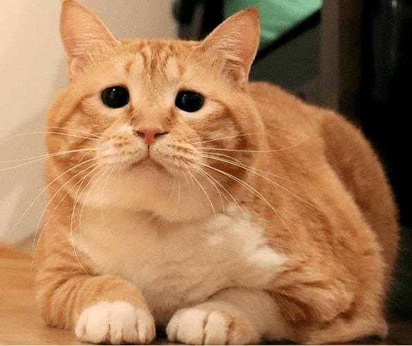 ふっくらボディとタレ目の人気ネコ「ぐっぴー」