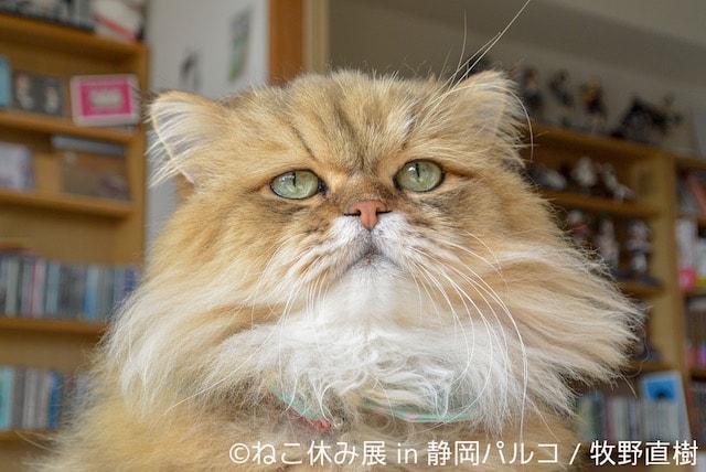 しょんぼり顔で人気のペルシャ猫「ふーちゃん」