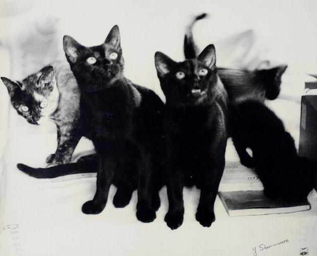 大佛次郎の家で暮らしていたシャム猫たち