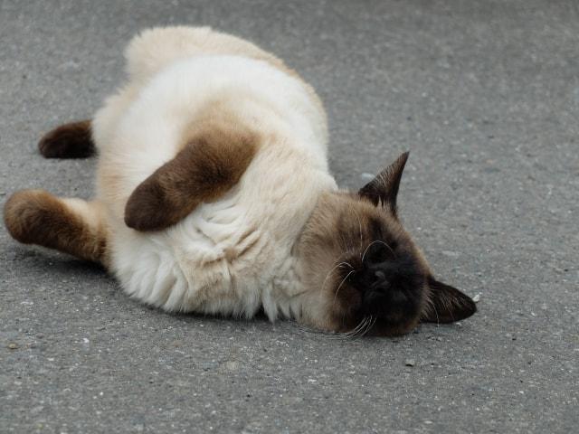 地面に体をこすりつける発情期のメス猫イメージ写真