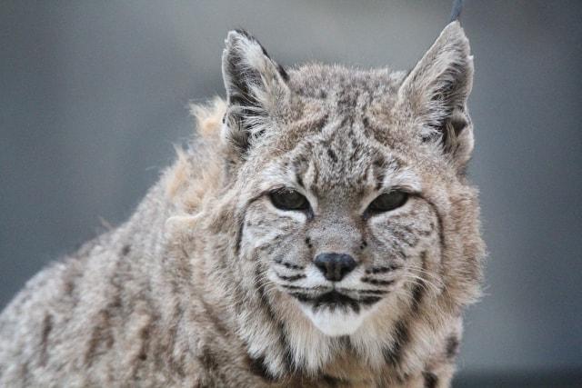 ボブキャットの写真 by 王子動物園 ac