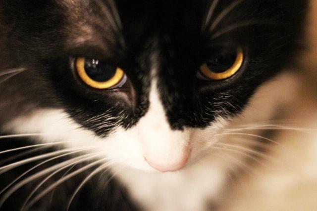 眼光の鋭い猫のイメージ写真