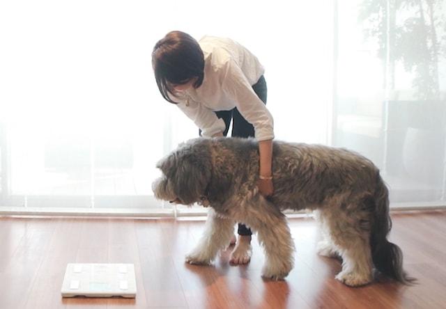 大きすぎて普通の体重計に乗れない大型犬