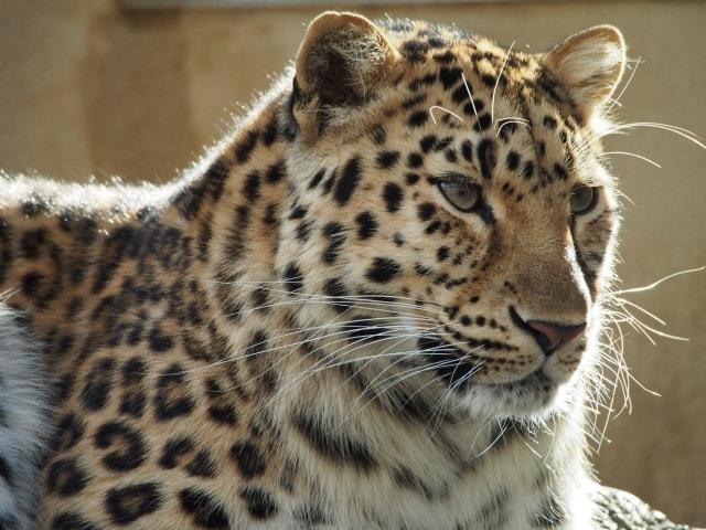 アムールヒョウの写真 by 王子動物園 ac