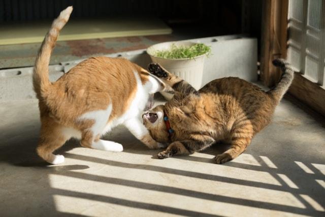 取っ組み合いの喧嘩をする2匹の飼い猫
