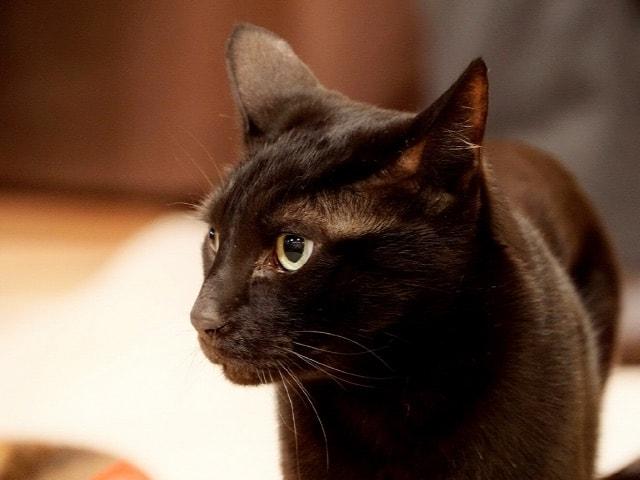 猫カフェにいる黒猫のいイメージ写真