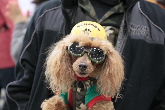 インターペットに入場する小型犬