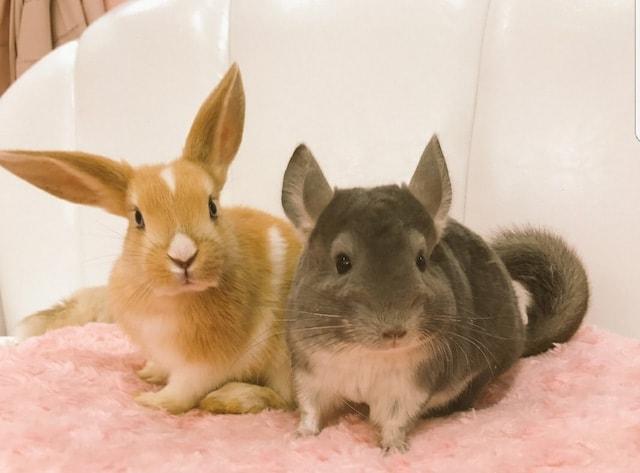 屋内動物園Animo(アニモ)のウサギたち