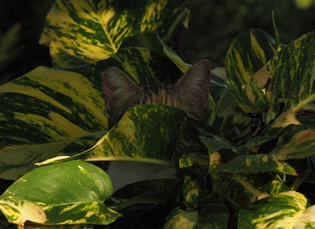草むらに隠れる猫(拡大写真)