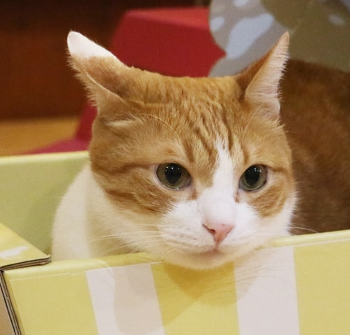 ダンボール猫ベッド「ねこちぐら」の縁にアゴを乗せる猫