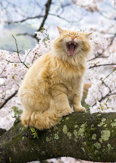 あくびをする猫の写真 by 阪靖之