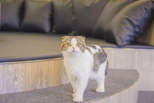 段差に立って見つめる猫 by 猫カフェMoCHA(モカ)京都河原町店