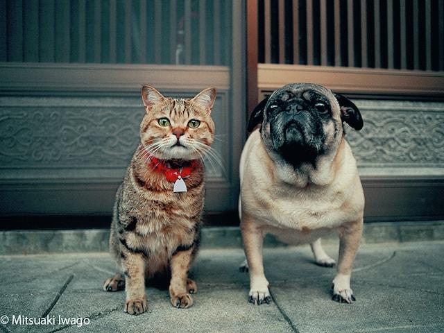 キジトラとパグの仲良しショット by 写真展「ねこといぬ」の展示作品