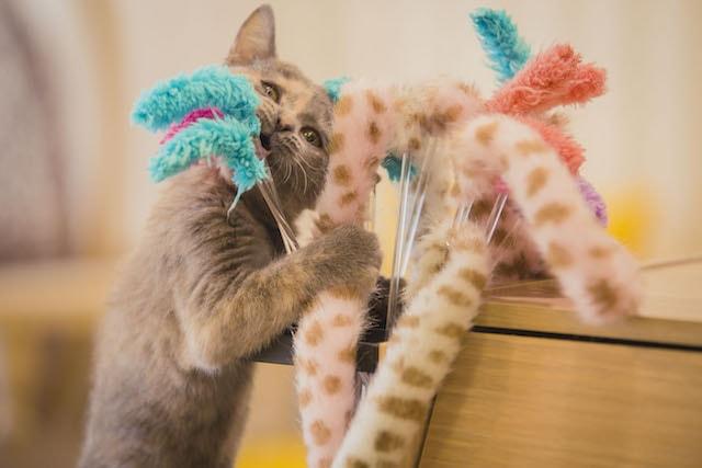 猫じゃらしで遊ぶ猫 by 猫カフェMoCHA(モカ)京都河原町店
