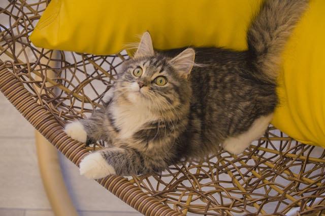 ハンギングチェアで休憩する猫 by 猫カフェMoCHA(モカ)京都河原町店