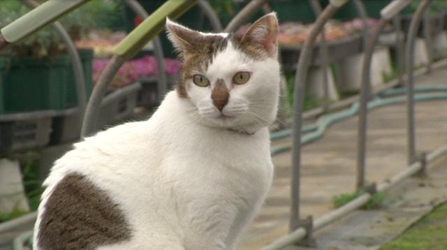NHKのテレビ番組「もふもふモフモフ」に登場する猫