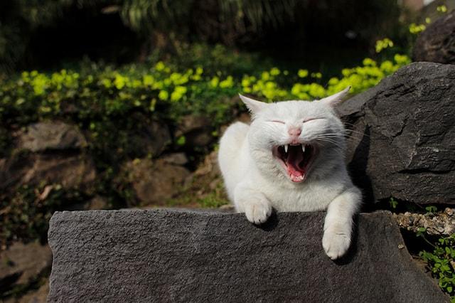 大あくびをする猫の写真 by 大塚義孝