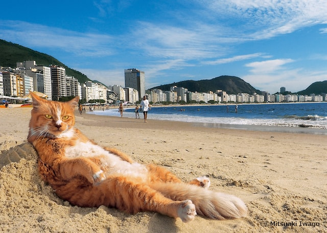 ブラジル・リオデジャネイロ南東部のコパカバーナビーチでモテモテの人気ネコ「シキンニョ」