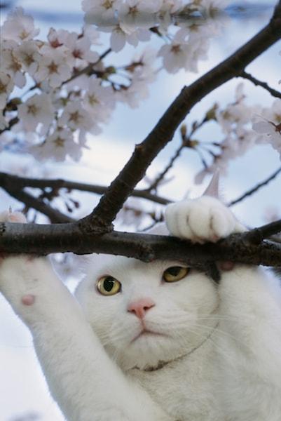 岩合光昭さんのネコ写真 白猫のにゃんきっちゃん